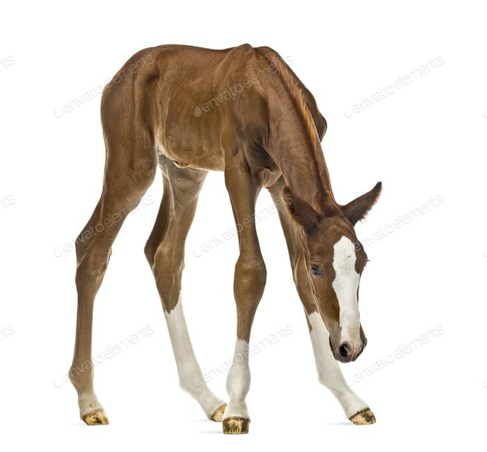 Foal looking down isolated on white