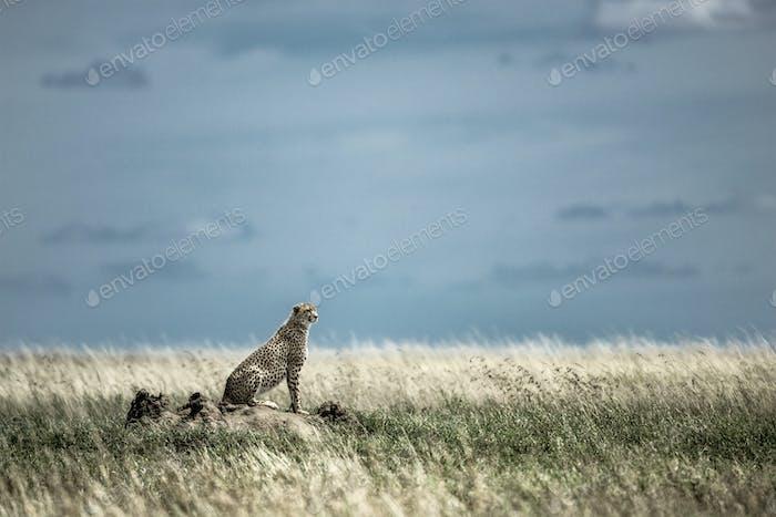 Cheetah on a mound watching around in Serengeti National Park