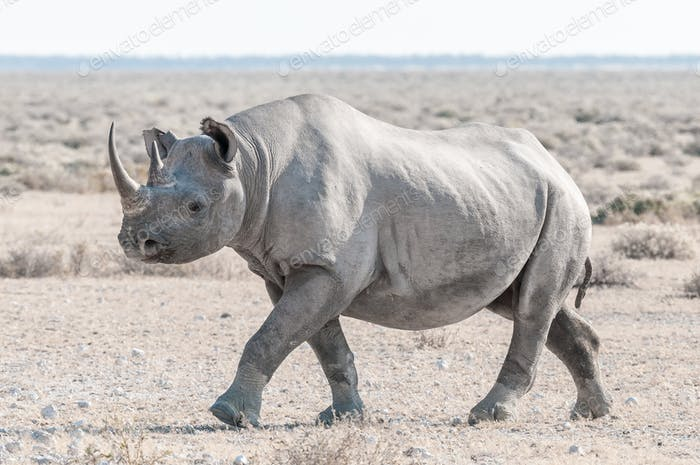 Black rhino covered with white calcrete dust, walking