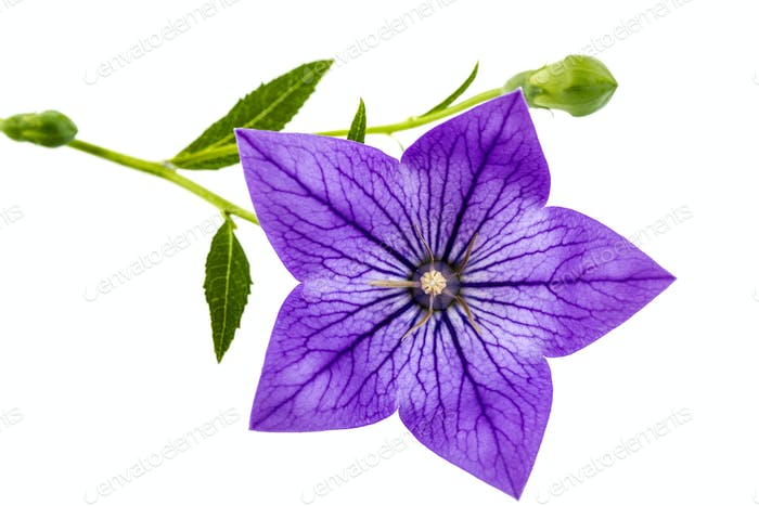 Purple flower of Platycodon (Platycodon grandiflorus) or bellflo