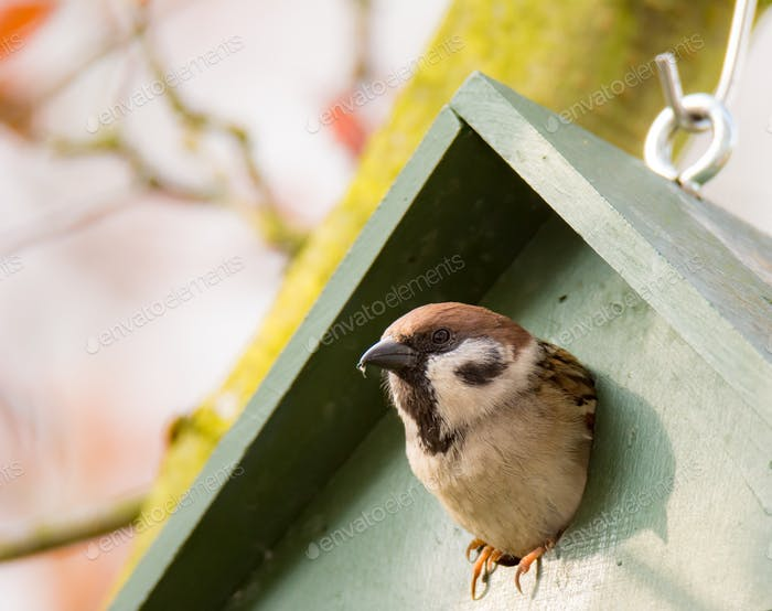 Eurasian Tree Sparrow in a Birdhouse