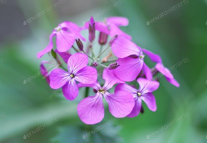 Violet macro flower.