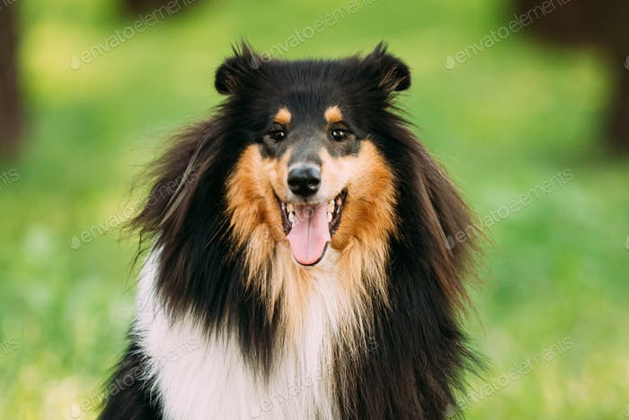 Tricolor Rough Collie, Scottish Collie, Long-Haired Collie, English Collie, Lassie Adult Dog