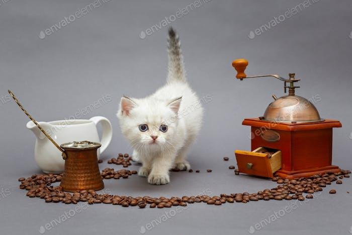 White British kitten and coffee
