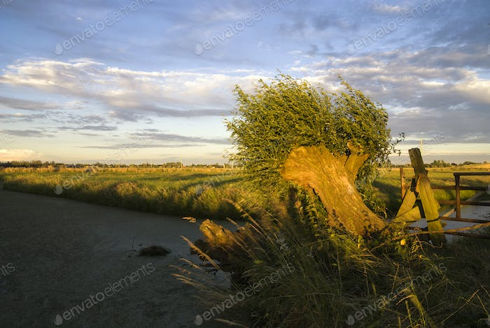Bended willow tree