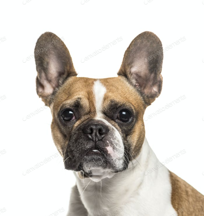 Close-up of up French bulldog dog, cut out