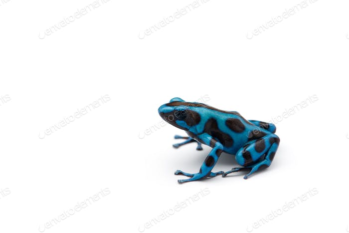 Green and Black Poison Dart Frog isolated on white background