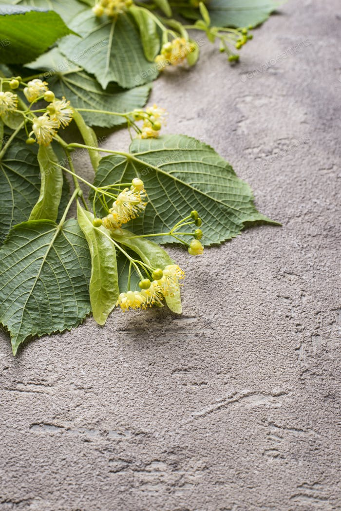 Flowers and leaves of linden tree