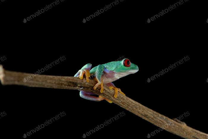 Red eyed tree frog isolated on black background
