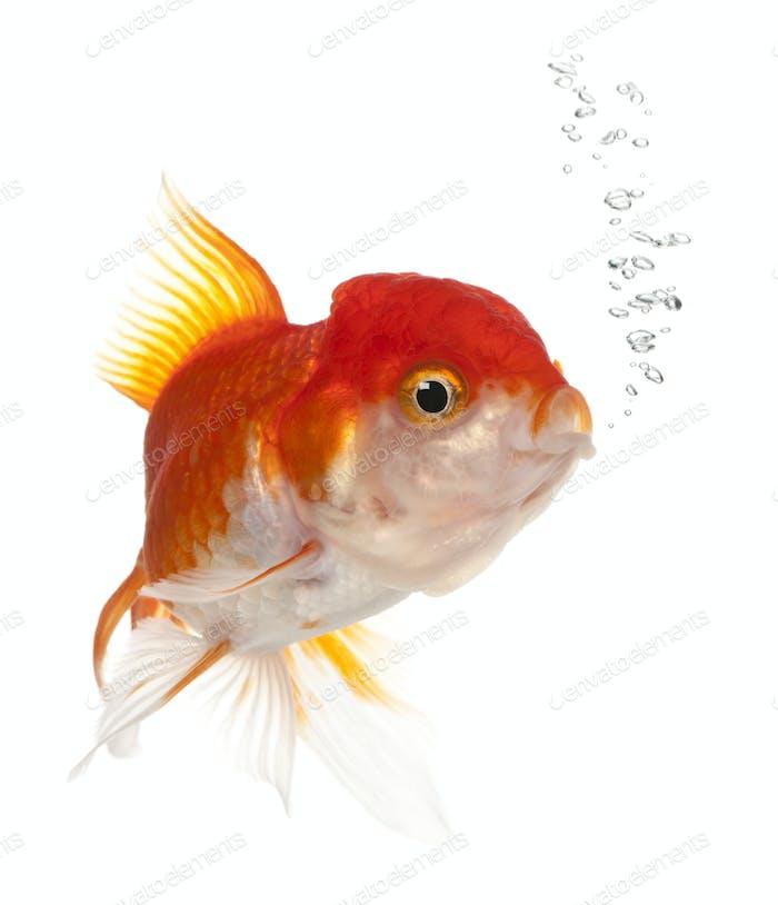 Lionhead Goldfisch, Carassius auratus, vor weißem Hintergrund
