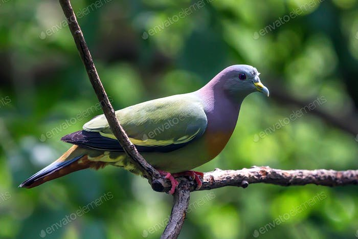 Orange-breasted Green Pigeon or Treron bicinctus
