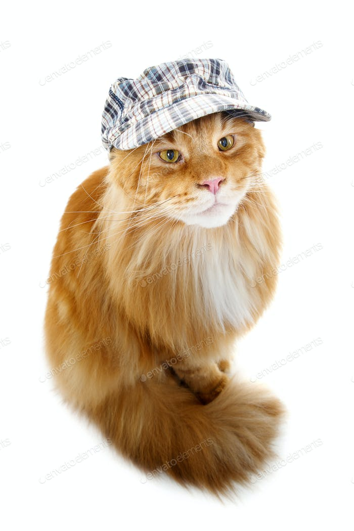 beautiful maine coon cat in hat