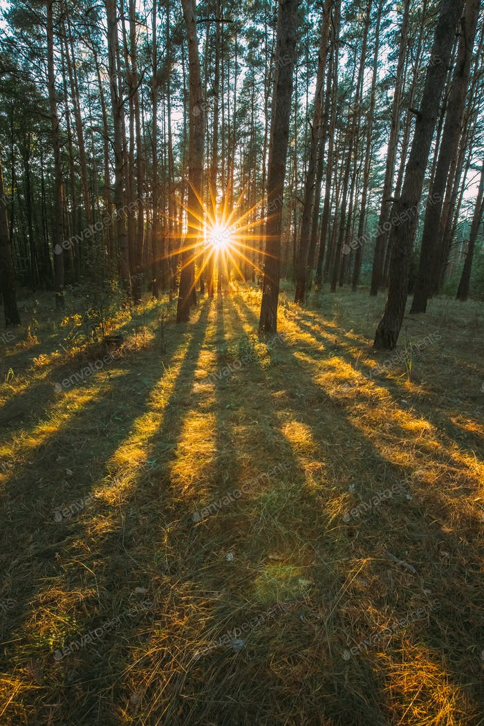 Europe. Sun Shining Through Forest Trees Woods. Sunset Sunrise In Summer Forest Landscape