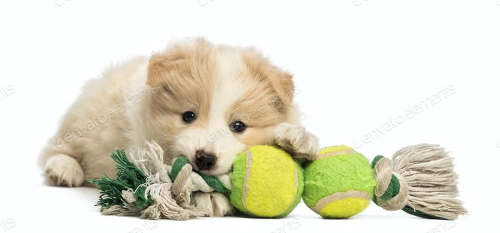 Border Collie puppy, 6 weeks old, lying and playing with a dog toy in front of white background