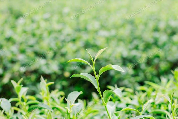 Green tea leaves of nature