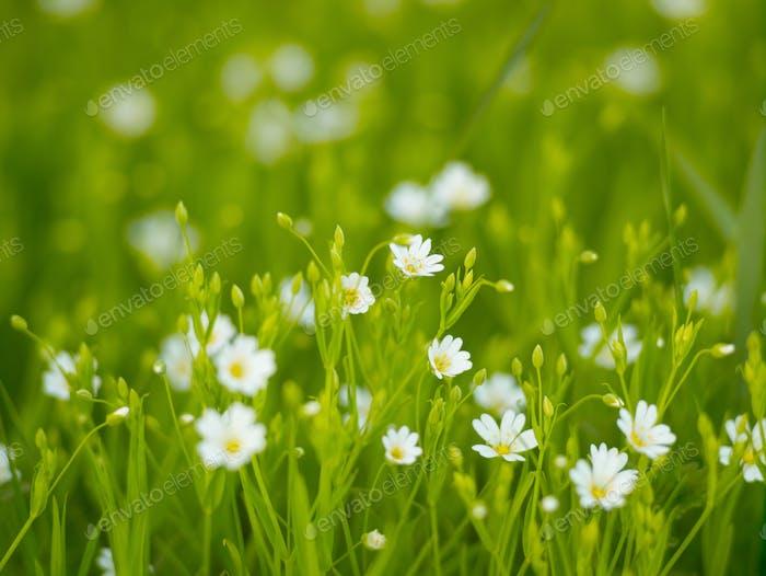 Spring flowers. Flowers of stella holostea