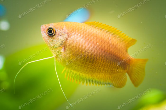 Honey gourami Trichogaster chuna tropical aquarium fish in fish tank