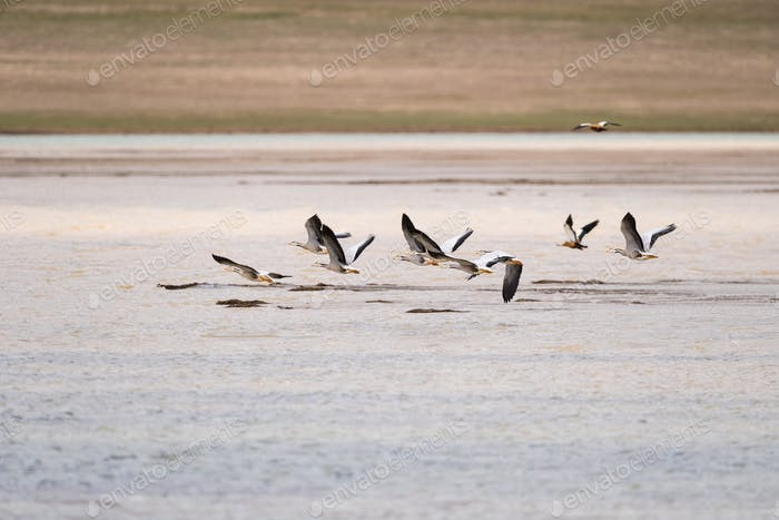 bar-headed goose on plateau