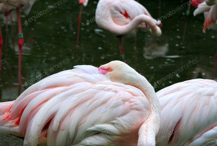 Portrait of the Greater Flamingo
