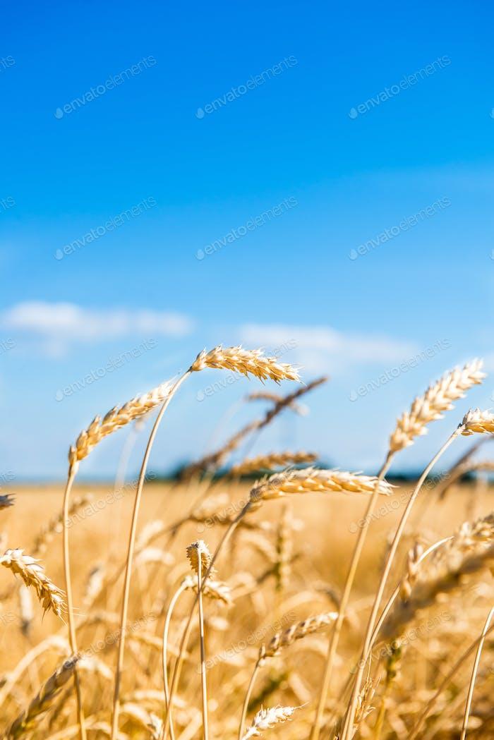 Autumn Landscape of Golden Wheat Field
