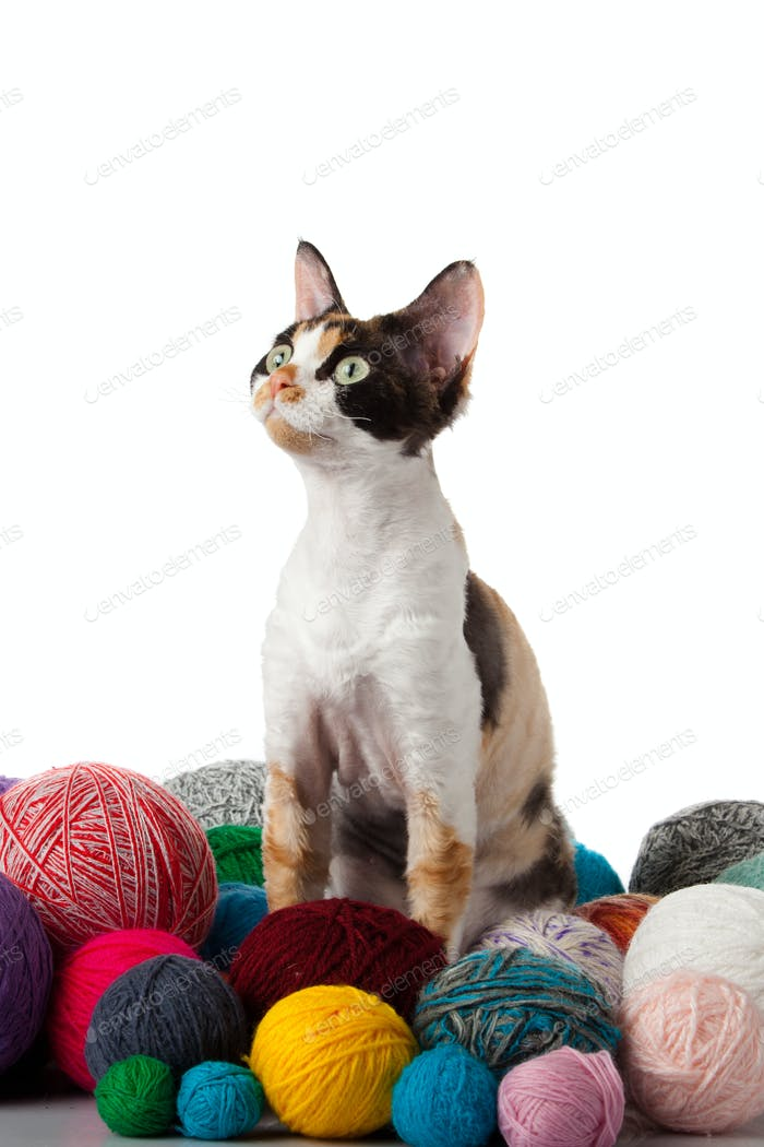 Katze Devon Rex auf weißem Hintergrund. Kätzchen mit Fäden