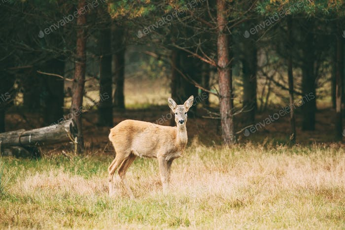 Belarus. Female European Roe Deer Or Capreolus Capreolus, Also K