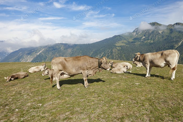 Cows grazing in the mountains. Livestock. Idyllic landscape. Cattle farm
