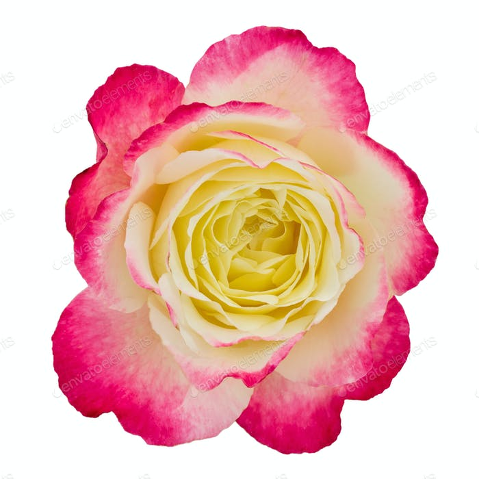 Flower of rose close-up, isolated on white background