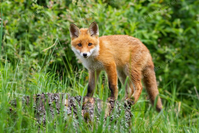 Cute potrait of young red fox standing on the stub in the forest