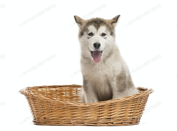 Alaskan Malamute puppy sitting in a basket isolated on white