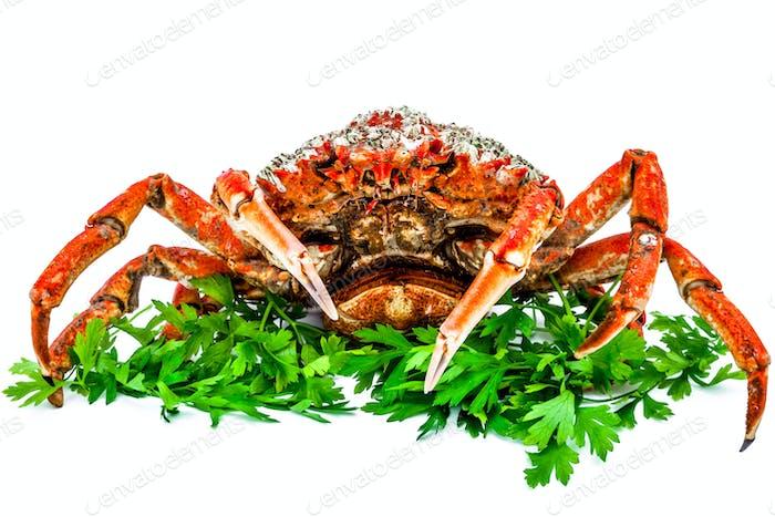 Spinne Krabbe