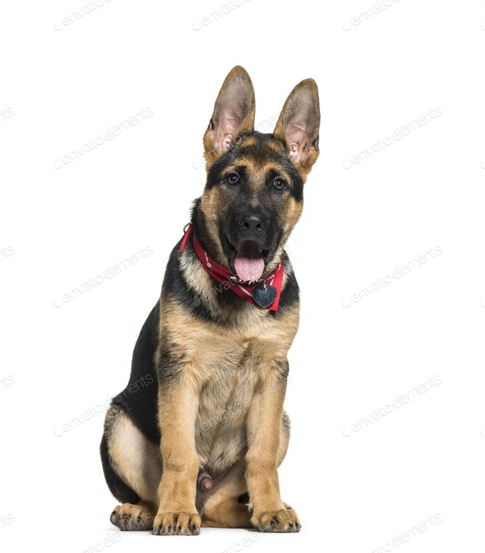Panting German Shepherd dog sitting, isolated on white