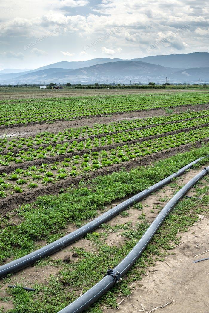 Gepflanzte Landwirtschaft Land und Rohr für die Bewässerung.