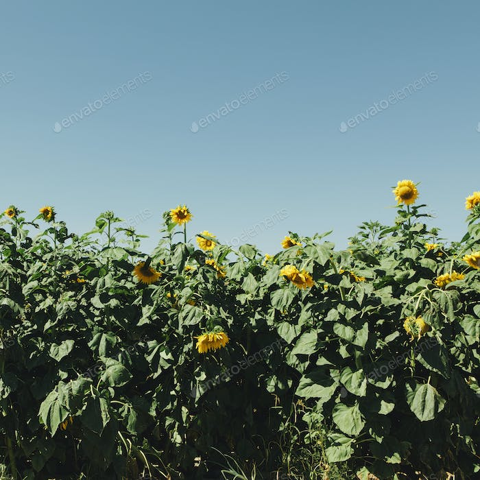 A field of tall sunflowers growing near Quincy in Washington state.