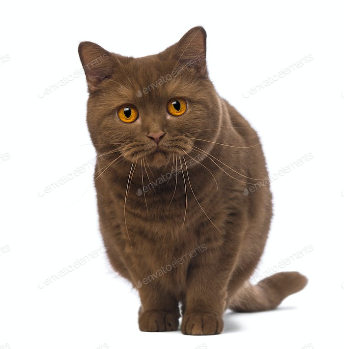 British Shorthair, 20 months old, standing and looking at the camera in front of white background