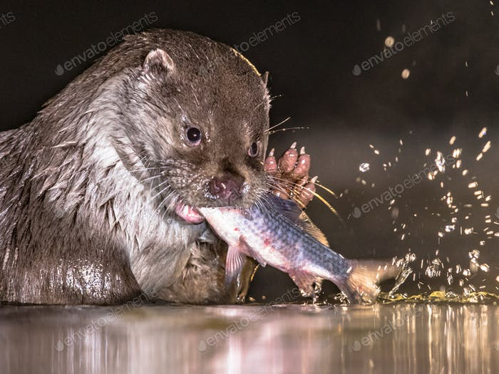 European Otter eating fish at night