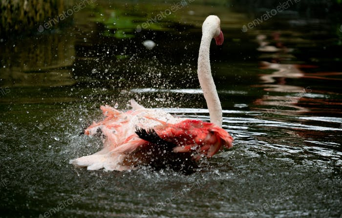 greater flamingo (Phoenicopterus roseus) swimming in the river