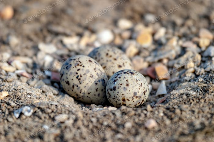 Eggs of Black-winged stilt