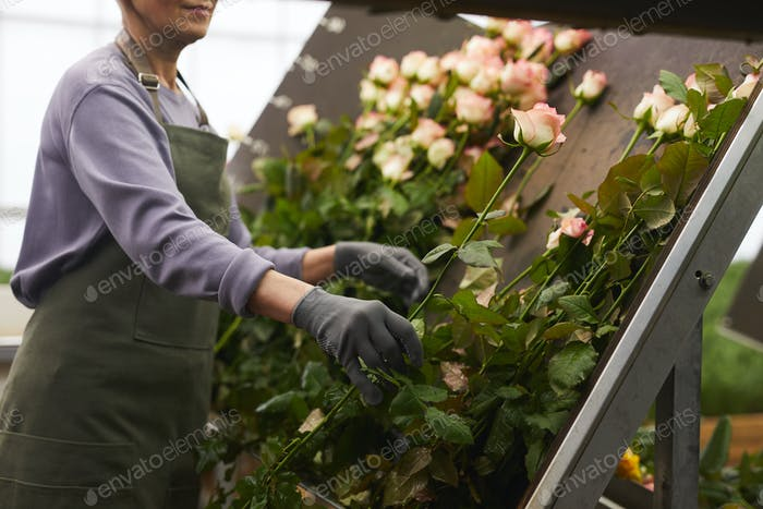 Woman busy with roses