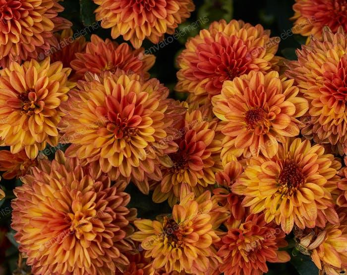Orang-Chrysanthemen Blume in Blüte