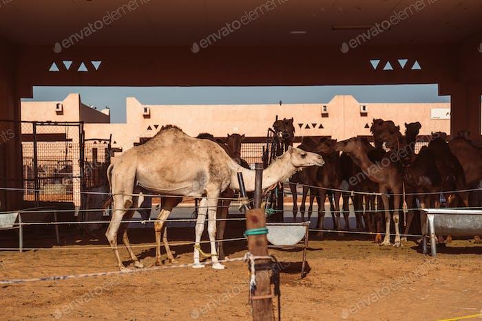 Camel market in Al Ain