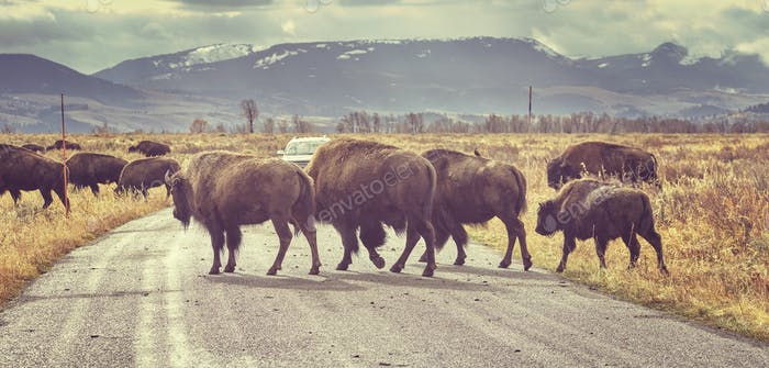 Retro toned Herd of American bison crossing road at sunrise, Wyo