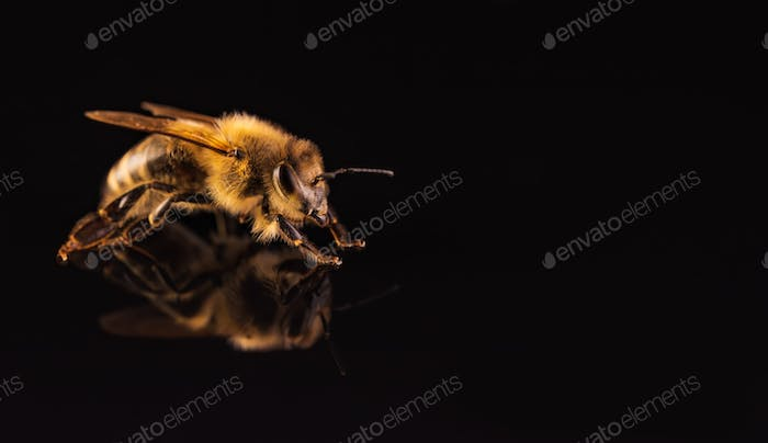 Honey bee macro, isolated on black background. Bee concept