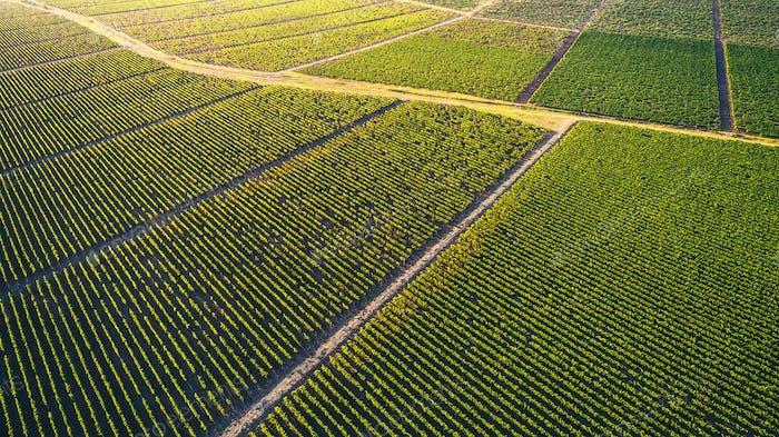 Beautiful vineyard field from top.