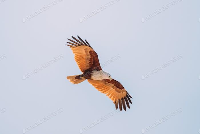 Goa, India. Brahminy Kite Flying In Blue Sky