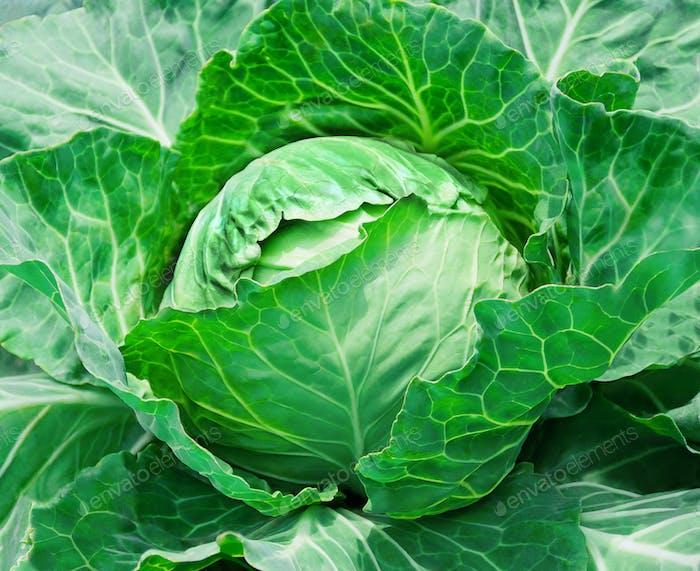 fresh cabbage in the vegetable garden