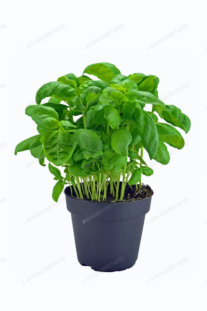 Basil Plant in a Pot