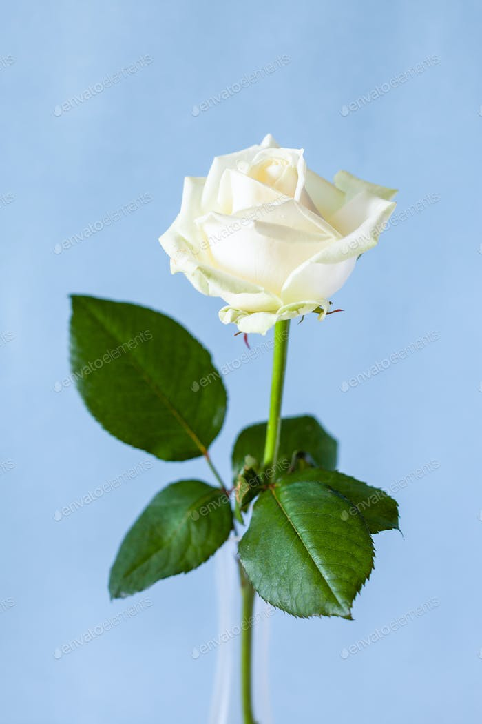 fresh white rose flower on pale blue background
