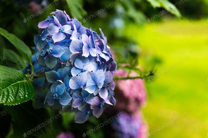 Hortensien Blumen im Garten