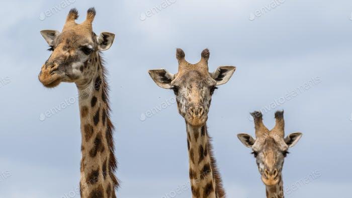 giraffe in the african national park